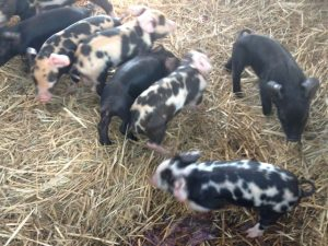 Eight piglets Large Black x Berkshire